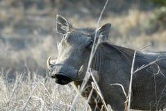 Desert Warthog, Phacochoerus aethiopicus, male portrait, Gorongosa National Park, Mozambique Stock Photography