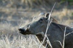 Desert Warthog, Phacochoerus aethiopicus, male portrait, Gorongosa National Park, Mozambique Royalty Free Stock Photography