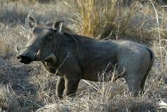 Desert Warthog, Phacochoerus aethiopicus, male portrait, Gorongosa National Park, Mozambique Stock Images