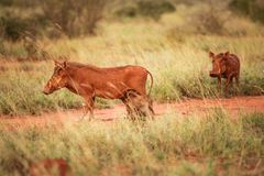 Desert warthog Phacochoerus aethiopicus red from mud and littl stock photography
