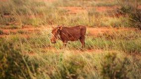 Desert warthog Phacochoerus aethiopicus walking in savanna lit stock photography