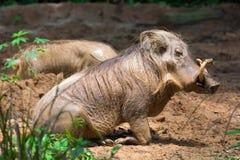 Desert Warthog Playing on Mud royalty free stock images