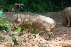 Desert Warthog Playing on Mud Royalty Free Stock Photos