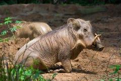 Desert Warthog Playing on Mud Stock Photography