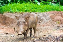 Desert Warthog Playing on Mud Stock Photo