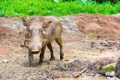 Desert Warthog Playing on Mud Stock Images