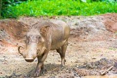 Desert Warthog Playing on Mud Royalty Free Stock Photography