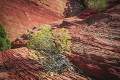 Desert Weed. A picture of a yellow flowering shrub growing int the cracks of red sandstone Stock Photos