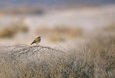 Desert Wheatear in its habitats Royalty Free Stock Photography