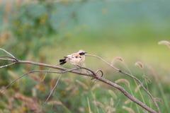 Desert Wheatear. (Oenanthe deserti) male in Japan Stock Images