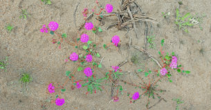 Desert Wildflower in Full Bloom - Panorama. A panoramic view of a beauty purple colored delicate desert flower in full bloom Royalty Free Stock Photos