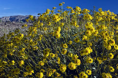 Desert Wildflowers. Lush burst of yellow wildflowers offers contrast to barren desert mountains in the distance Royalty Free Stock Images