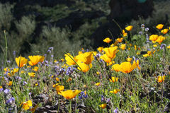 Desert wildflowers Royalty Free Stock Photo