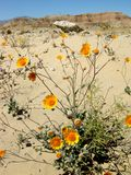 Desert wildflowers Royalty Free Stock Image