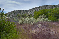Desert wildflowers and cactus in bloom. Royalty Free Stock Photography
