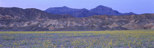 Desert Wildflowers, Death Valley National Park Stock Images