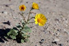 Desert Wildflowers Desert Gold (Geraea canescens). Beautiful desert wildflowers in Death Valley, California.  These are Desert Gold (Geraea canescens Stock Photo