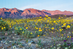 Desert Wildflowers. Mojave Desert Wildflowers With Funeral Mountains In Background, Death Valley National Park, California stock photography