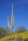 Desert Wildflowers and Saguaro Stock Photos