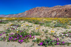 Desert Wildflowers. Variety of Desert Wildflowers With Baren Mountains in Background Royalty Free Stock Photography