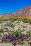 Desert Wildflowers. Vertical Composition With Variety of Desert Wildflowers With Baren Mountains in Background Stock Image