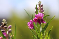 Desert Willow Bloom. A close up view of a desert willow flower bloom Royalty Free Stock Photo