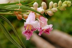 Desert Willow Blossom Royalty Free Stock Image