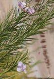 Desert willow  (Chilopsis linearis) Stock Image