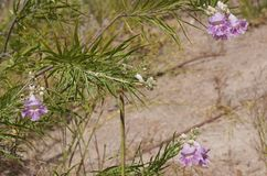 Desert willow (Chilopsis linearis) Royalty Free Stock Photos