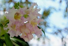 Desert Willow flowers, Coso Junction Rest Area, Freeway 395 stock image