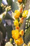 Desert yellow cactus in bloom royalty free stock photography