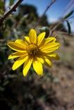 Desert Yellow Daisy Royalty Free Stock Images
