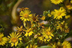 Desert Yellow Fleabane Stock Photos