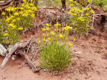 Desert yellow flowers Stock Photo