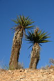 Desert Yucca. Beautiful desert yucca foliage growing in the Nevada Desert under a blue sky Stock Images