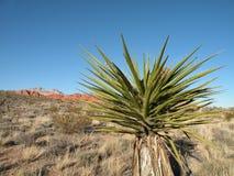 Desert yucca plant Stock Photo