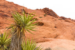Desert Yucca Plant in front of a Red Rock Background Stock Image