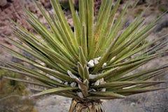 Desert Yucca Plant stock photos