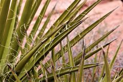 Desert Yucca Plant stock image