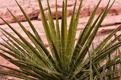 Desert Yucca Plant stock photography