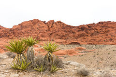 Desert Yucca Plant with Red Rock Ridge and Copy Space Stock Images