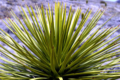 Desert Yucca Plant Up Close Stock Photography