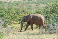 Deserted adapted elephant in bush. Deserted adapted elephant wlaks bay in in bush in Torra Conservancy Namibia royalty free stock photos
