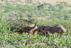 Deserted adapted elephants in bush. In Torra Conservancy Namibia stock image