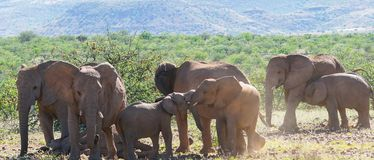 Deserted adapted elephants in bush. In Torra Conservancy Namibia royalty free stock photo