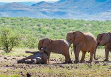 Deserted adapted elephants in bush. Red dust covered deserted adapted elephants playing around in bush in Torra Conservancy Namibia royalty free stock photography