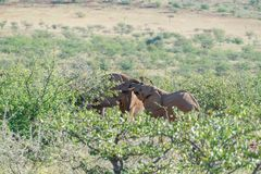 Deserted adapted elephants in bush. In Torra Conservancy Namibia royalty free stock image