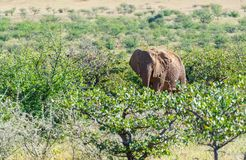 Deserted adapted elephants in bush. In Torra Conservancy Namibia stock photos