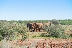 Deserted adapted elephants in bush. In Torra Conservancy Namibia stock images