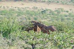 Deserted adaptou elefantes no arbusto imagem de stock royalty free